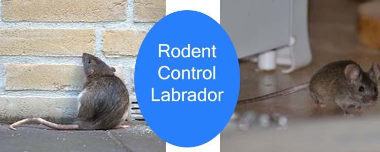Rodent Control Labrador